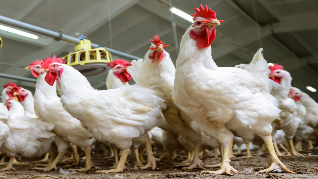 Poultry(Broilers)